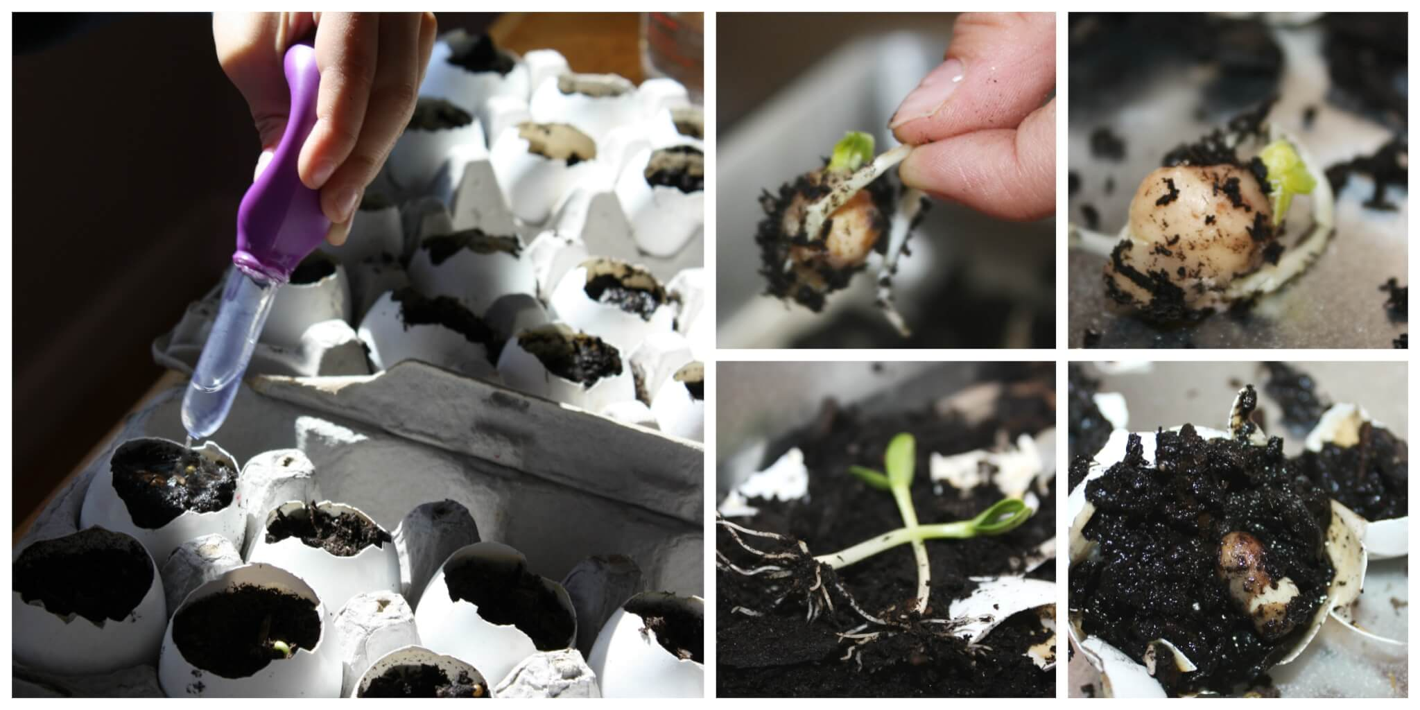 Egg Shell Seed Growing Science Experiment For Spring Science