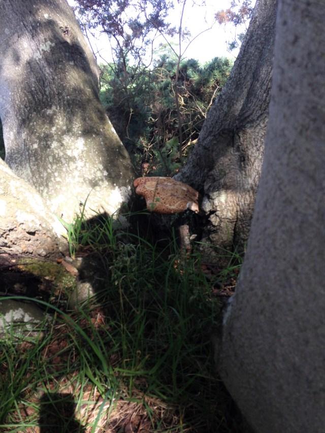 Pheasant Back Mushroom