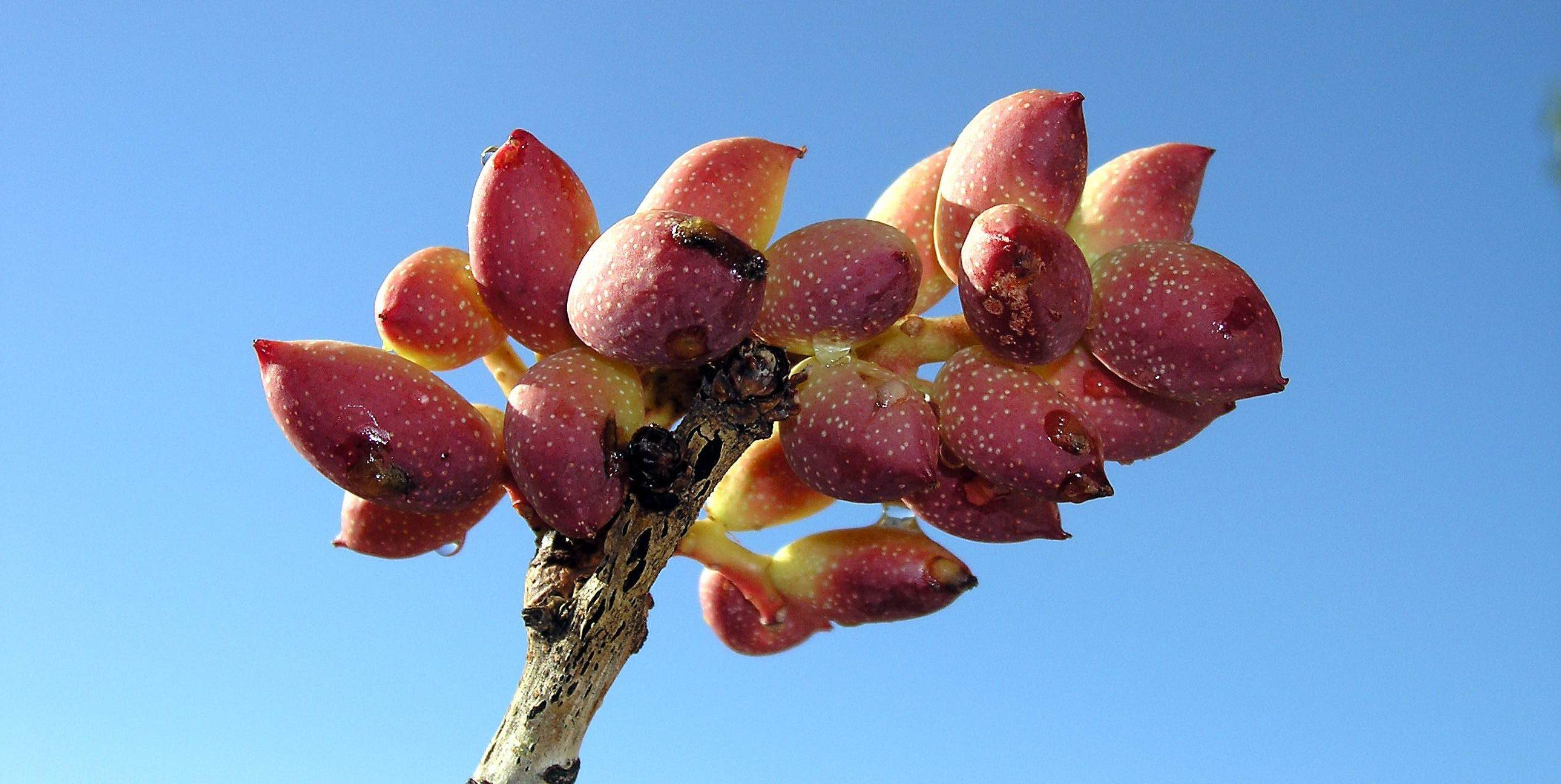 pistacheplant