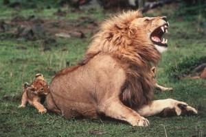 lion cub biting