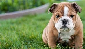 Cutie Bulldog