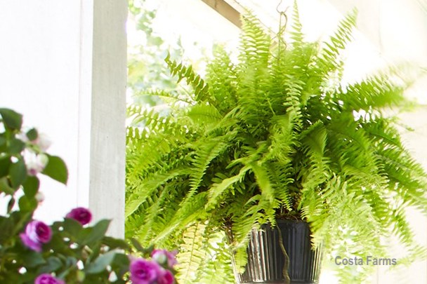 Boston-Fern-Costa-Farms
