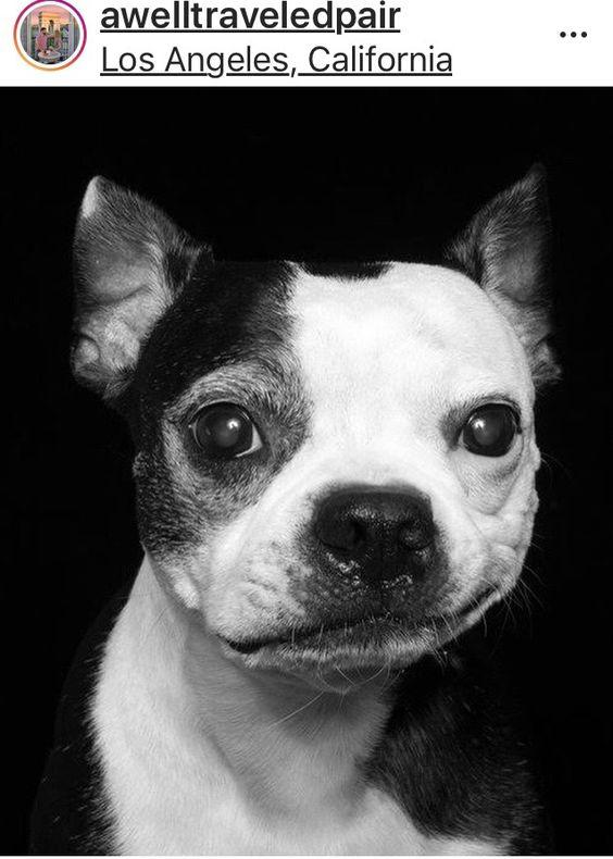awelltraveledpair-boston-terrior-pets-homes