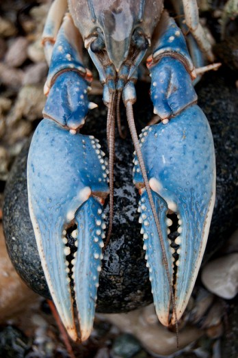 picturesso-blue-crab-interior-design-blues