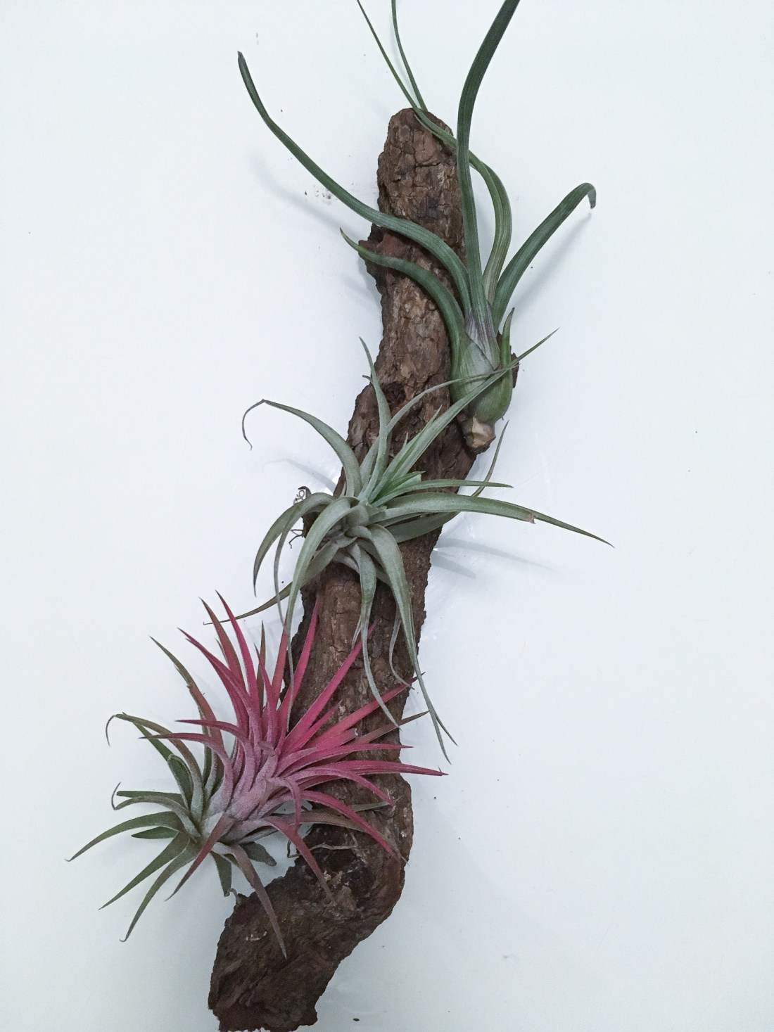 airplant diy