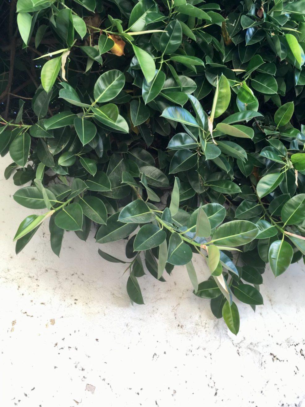 gummitræ