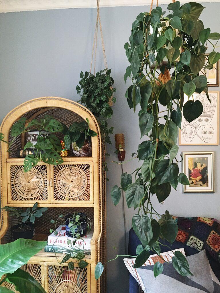 hængeplanter philodendron hederaceum