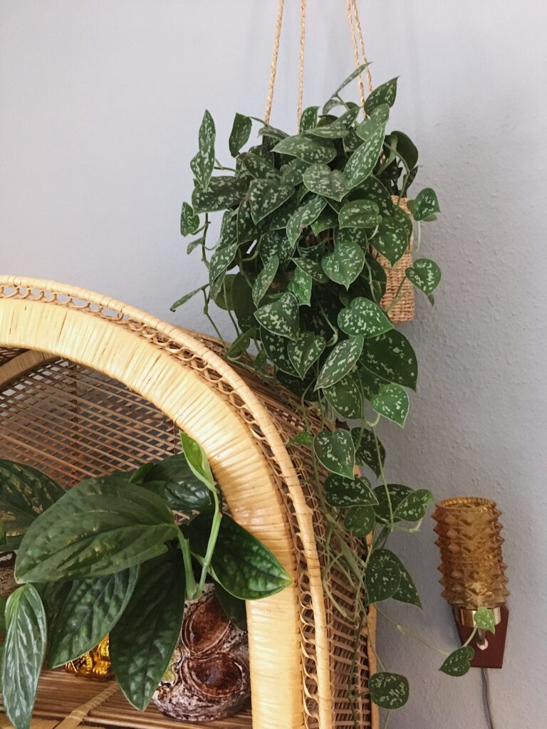 hængeplanter måneskin scindapsus pictus