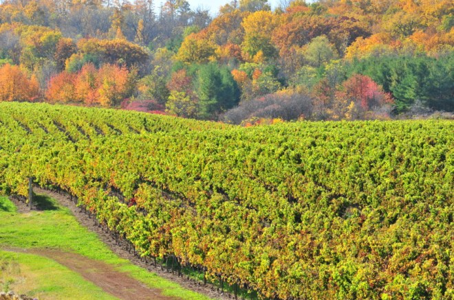 Fall Vineyard in PEC