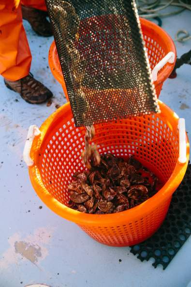 Sorting Oysters on the Farm