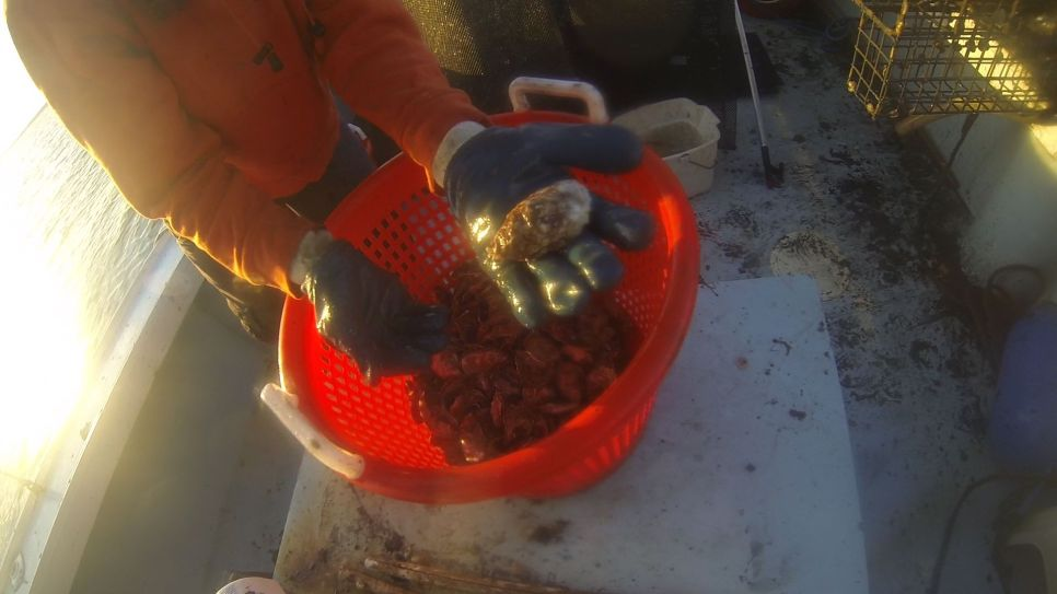 Sorting the oysters at sunrise.