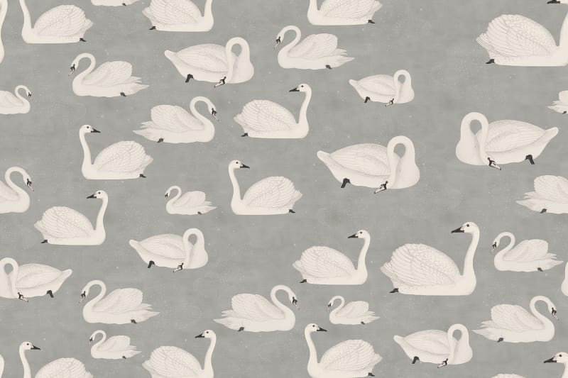 Gray Swan Wallpaper