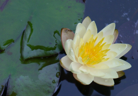 I have NEVER had waterlilies bloom before August. I have three in bloom this year already.