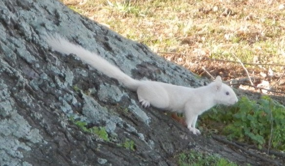 The noble white squirrel