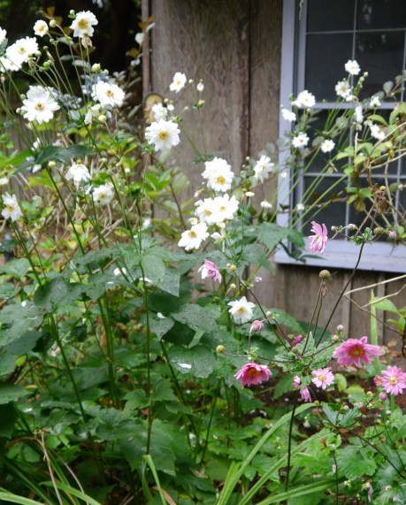 More fall bloomers. Japanese Wind Flowers