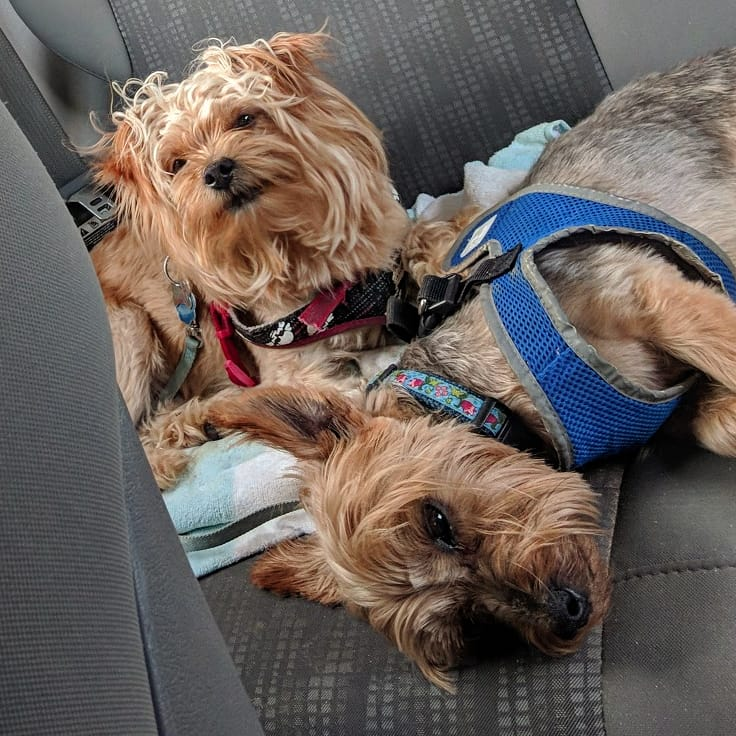 Two small dogs sleeping next to each other in a car