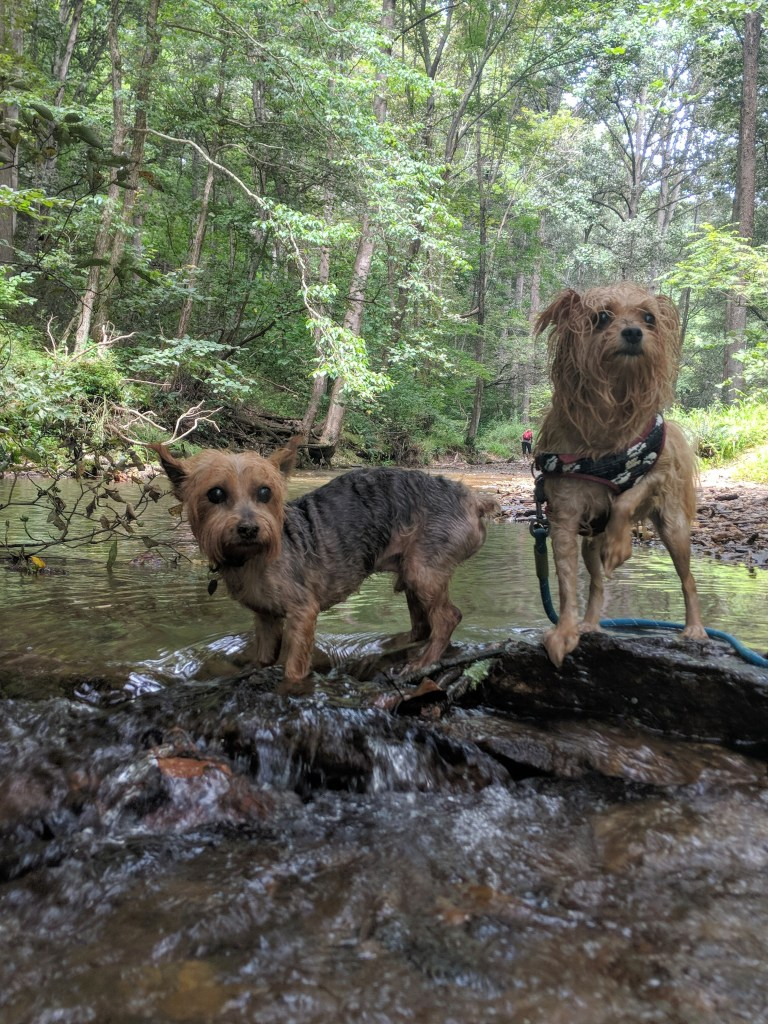 Two small, wet dogs in a stream at Rocks State Park in Maryland