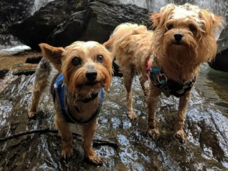 """Feature photo for the post """"Dipper does Kilgore Falls at Rocks State Park,"""" featuring two small dogs standing on a rock in front of a waterfall"""