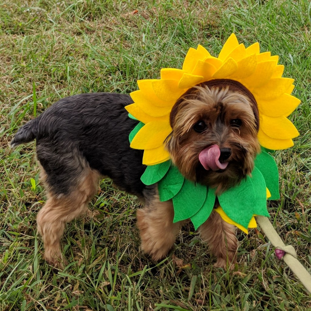 A yorkie wears a hat that looks like a sunflower.