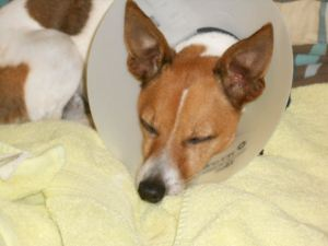 Dog sedated for veterinary visit