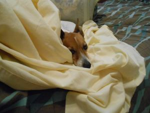 Napping Jack Russell Terrier
