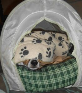 A tent bed provides a hiding place for a scared dog