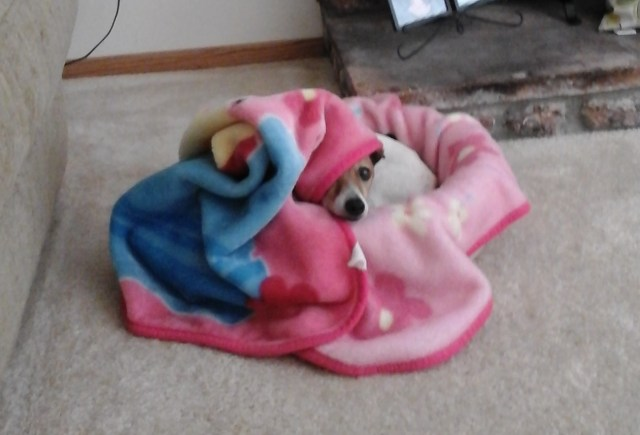 Jack Russell Dog in blanket