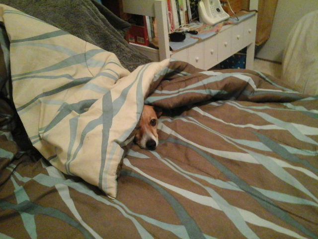 Happy Jack Russell nestled in blankets