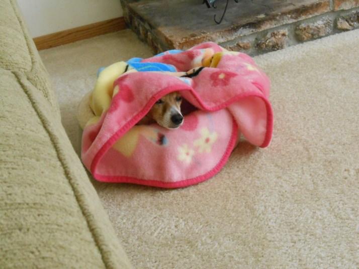Dog peekjng out of blanket