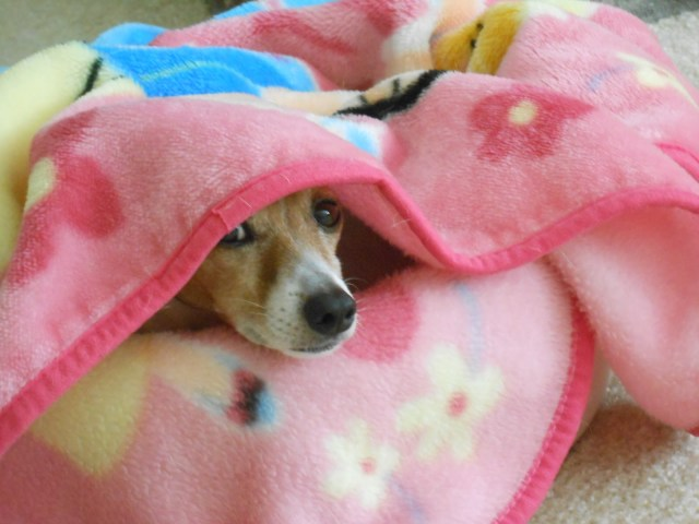 Dog spying under blanket