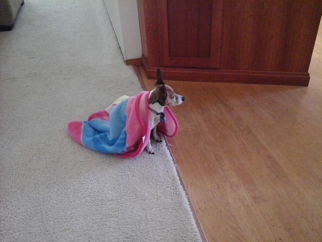 dog with blanket on back