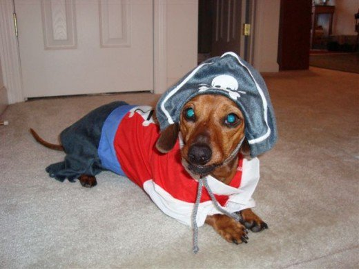 dog in cute pirate costume