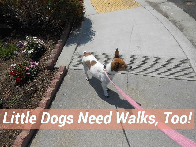 little dog taking a walk on a summer day