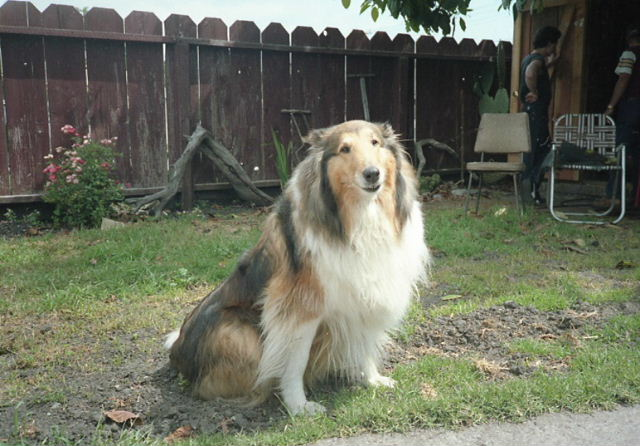 Collie sitting in the yard