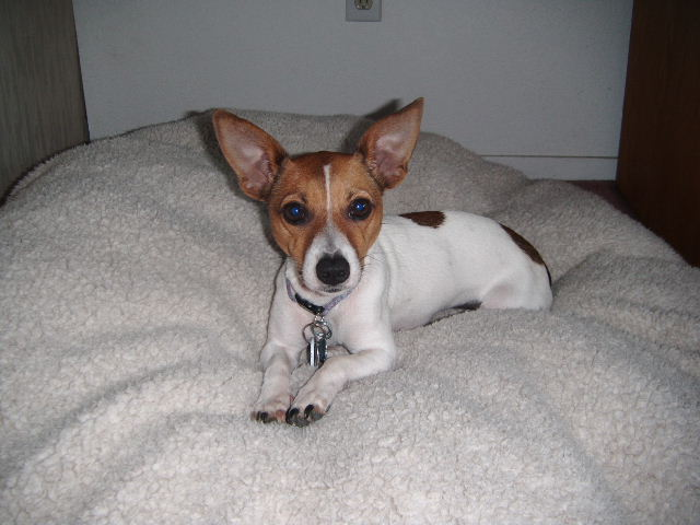 jack russell puppy one year old
