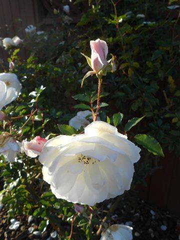 white roses in bloom