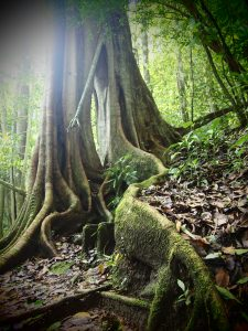 Beautiful old trees in the forests of Selva Negra Plantation