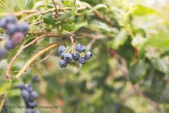 blueberry-picking-2205