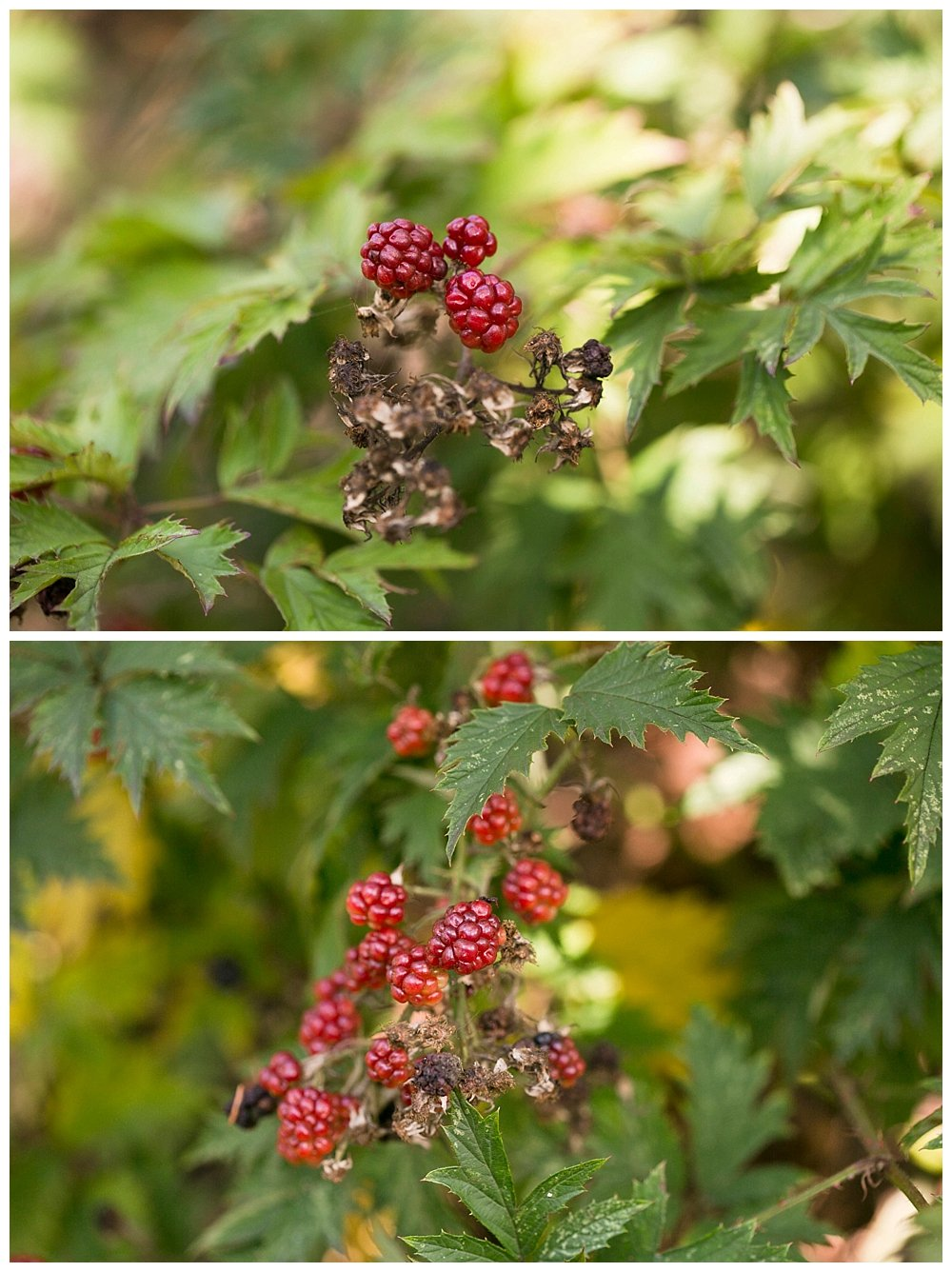 Fall blackberries in the Pacific Northwest. Lake Whatcom.