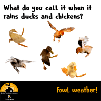What do you call it when it rains ducks and chickens? Fowl weather!