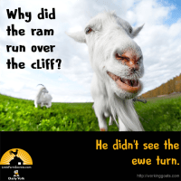 Why did the ram run over the cliff? He didn't see the ewe turn.