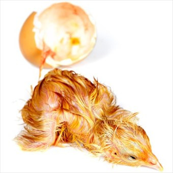 Tired little newly hatched chick isolated on white