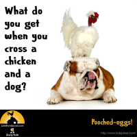 What do you get when you cross a chicken and a dog? Pooched-eggs!