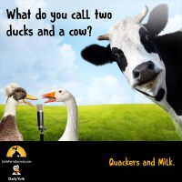 What do you call two  ducks and a cow? Quackers and Milk.