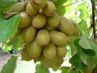 New Zealand Exotic Fruits | littlegirlstory
