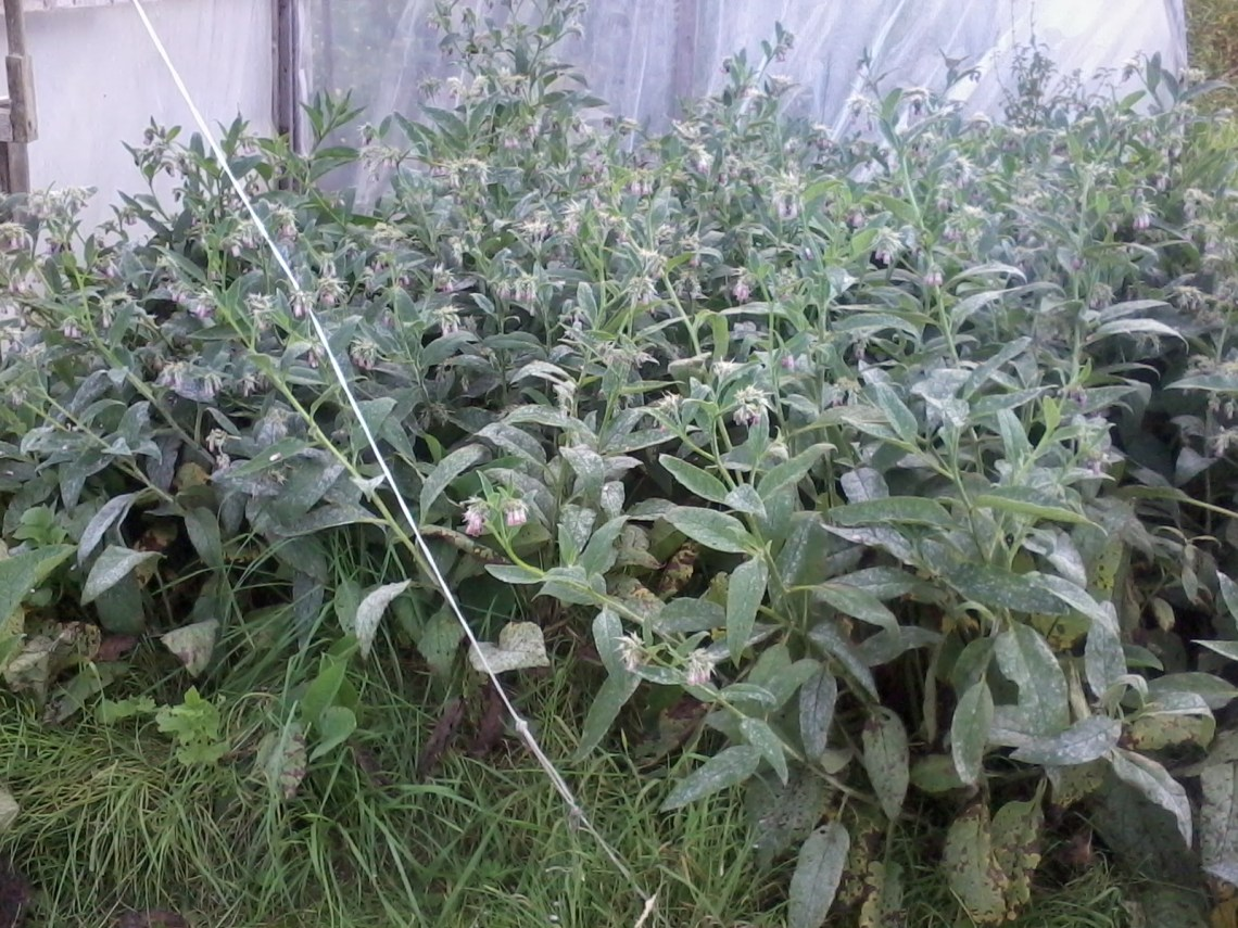Comfrey - used in vegan permaculture