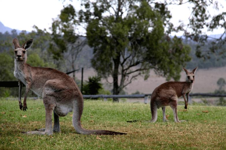 Spices Hidden Vale kangaroos