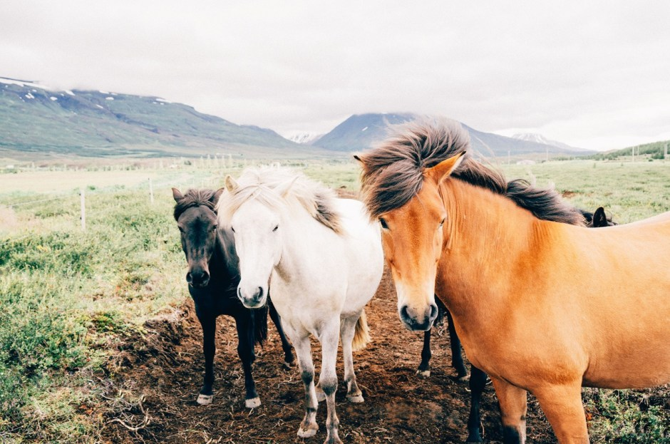 Iceland - horses
