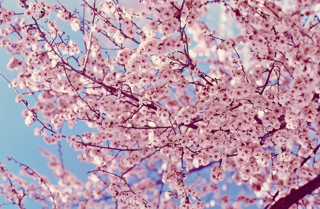 Sakura Cherry Blossom Okinawa