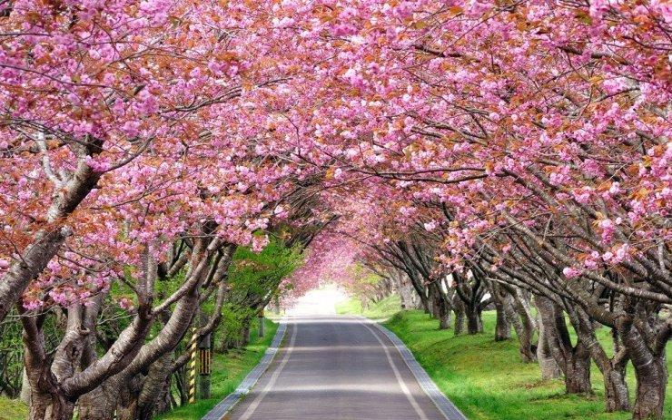 Cherry blossoms in Hokkaido